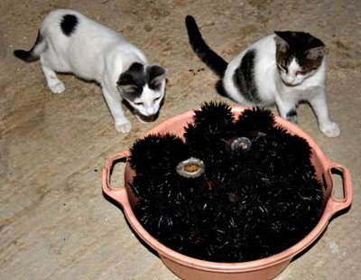 Kittens with Sea Urchins