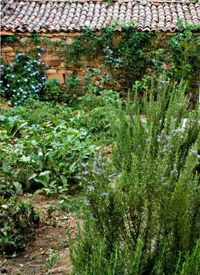 Rosemary Bushes in Garden with Blue Jasmine