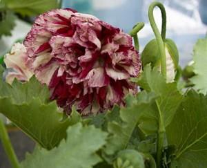 Flemish Peony Poppy