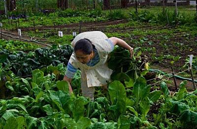 Woman Harvesting Mustard