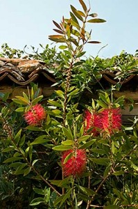 Red Bottle Brush Tree