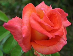 Pink-Orange Rose at Greek House