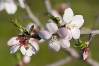 Sweet Almond Tree