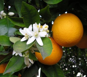 Oranges and Orange Blossoms