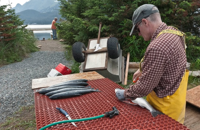 Cleaning 6 of 85 Sockeye Salmon Snagged at Tutka Bay