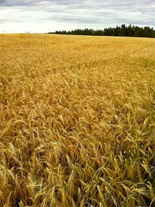 Field of Barley, Delta Junction, Alaska