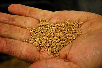 Barley Grains Ready To Be Milled