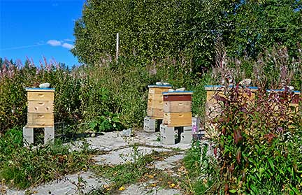 Beverly's Bee Yard at Earthworks Farm, Palmer, Alaska 2012