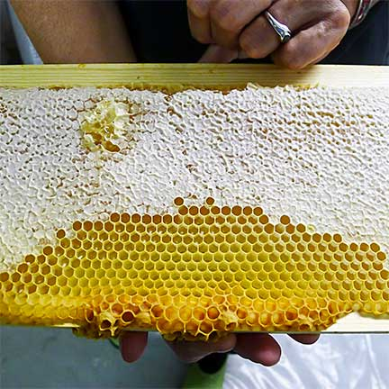 Honey Comb Straight from the Hive