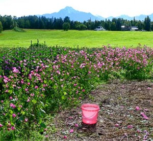 Flowers for Sale and for Bee Food, Earthworks Farm, Palmer, Alaska 2012