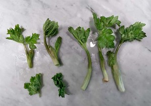 Three Ways of Harvesting Cow Parsnip. Clockwise from Bottom Left: Leaves only, leaves and above ground stem, leaves and below ground stem. The below ground stem has the best flavor, so should always be harvested. Photograph by Laurie Constantino