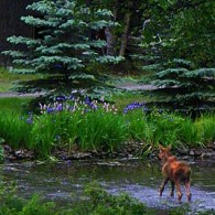 Baby Moose Frolicking in Pond. Photograph by Laurie Constantino